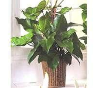 Filodendro grande en capital federal envio de flores a for Planta filodendro